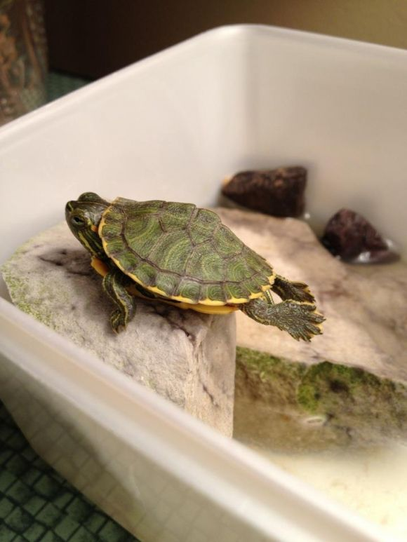 Pet turtle planking - So thats what its called! Destin does this ...