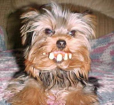 too funny. yorkie