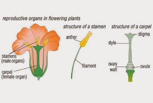 sexual reproduction in flower The flower is the main structure concerned with reproduction,  sexual reproduction in flowering plants wwwgneetcom 4.
