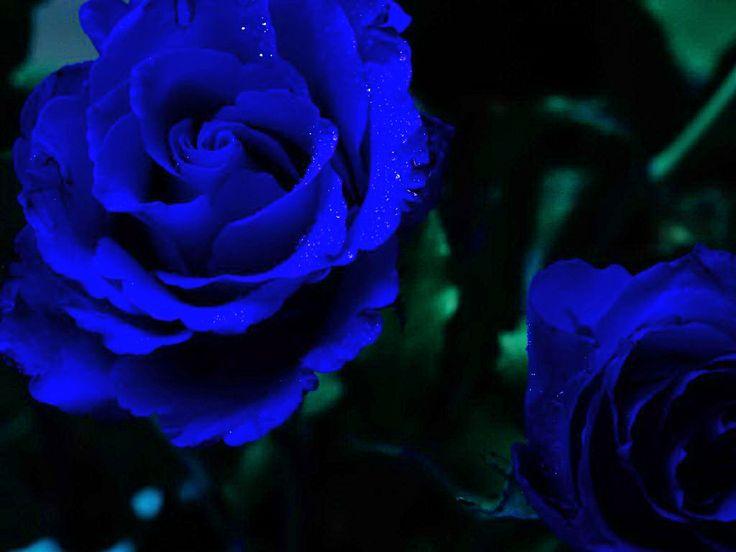 Sapphire roses flowers pinterest - Sapphire wallpaper ...