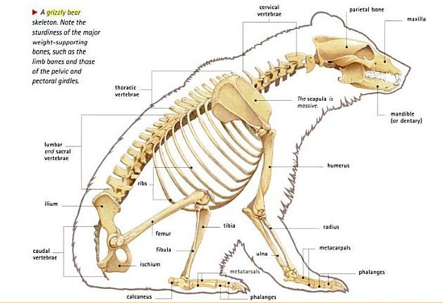 Bear internal anatomy