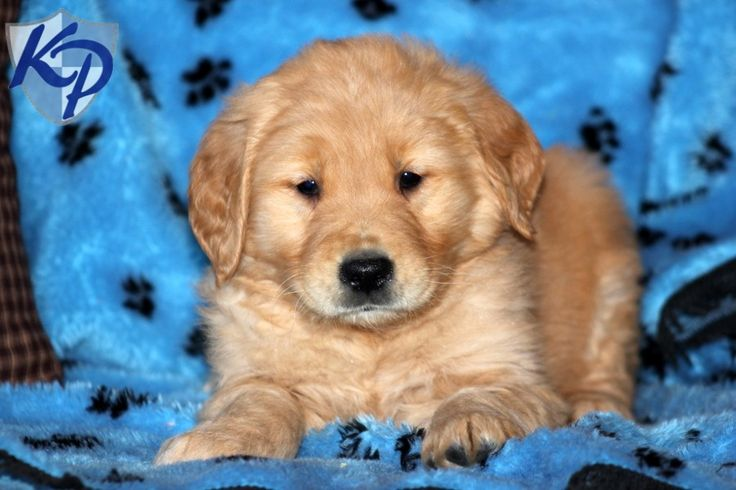 Harley – Golden Retriever Puppies for Sale in PA | Keystone Puppies