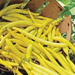 Golden Butterwax Bush Bean....