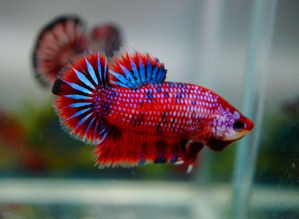 Red devil betta fish pinterest for Red devil fish