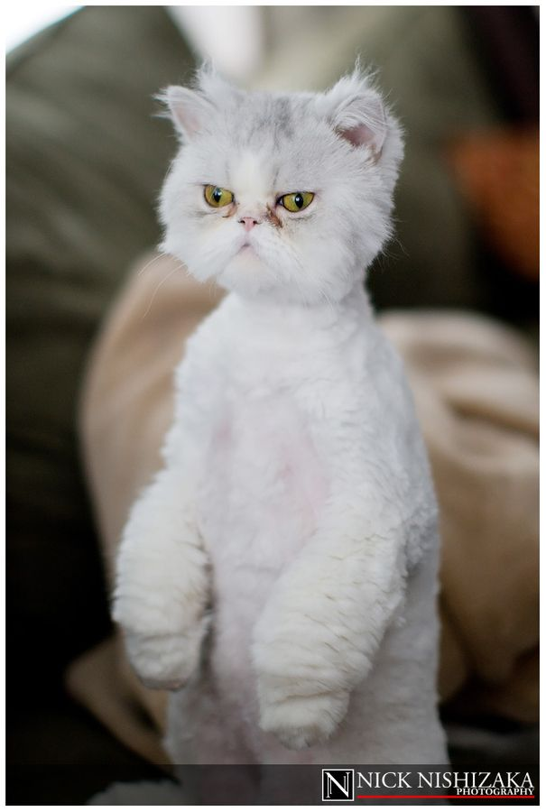Brilliant Persian Cat Kitty Cats Unidentified Kitteh Happy Campers