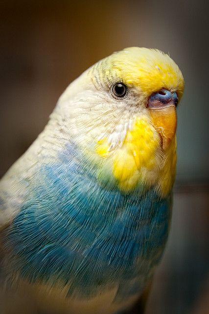 parakeet colors - photo #2