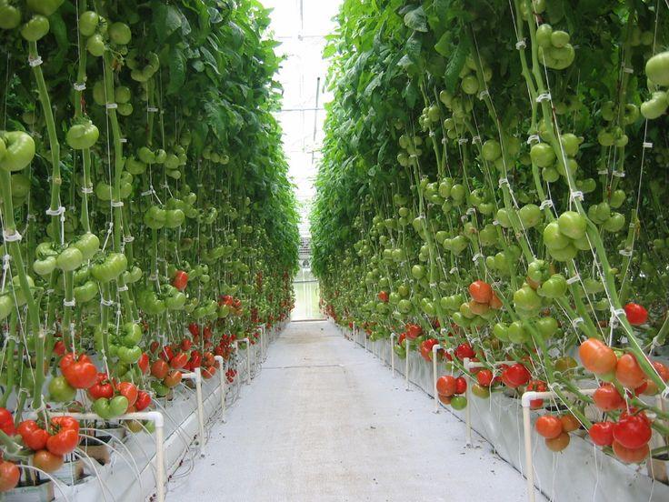 Гидропоника для выращивания помидор 706