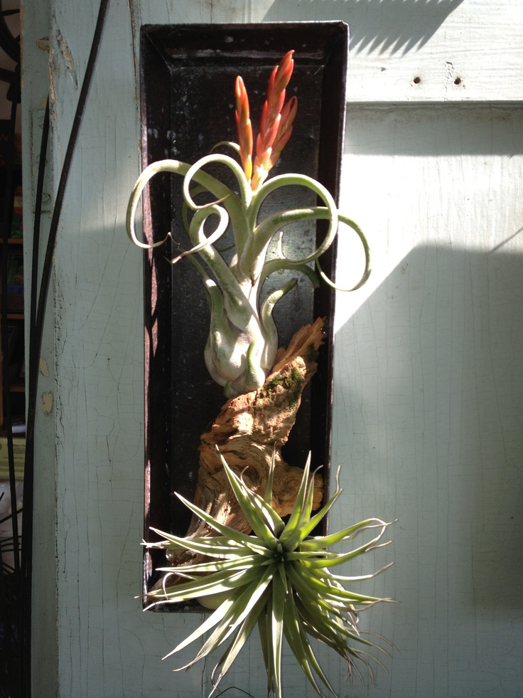 Pinterest discover and save creative ideas for Air plant art