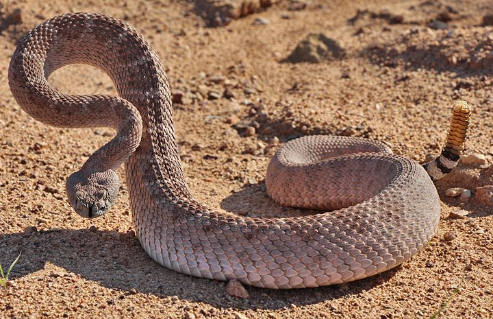 Rattlesnake Pictures - National Geographic