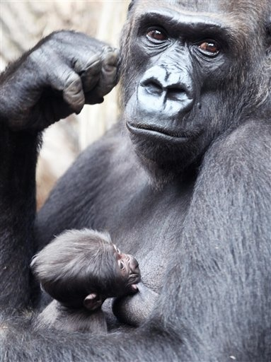 Baby gorilla with mom in German zoo