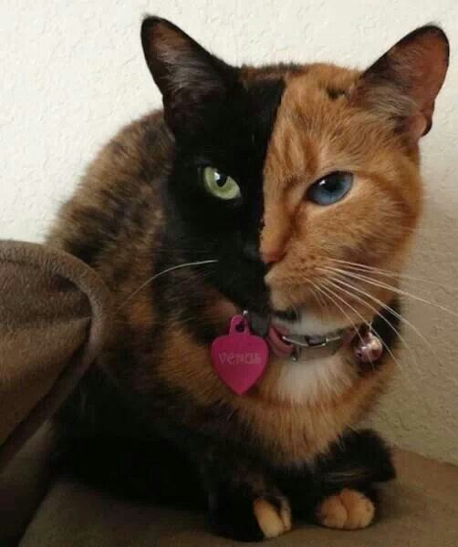 Chimera cat | Pets | Pinterest