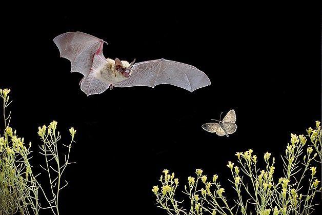 Western pipistrelle - photo#15