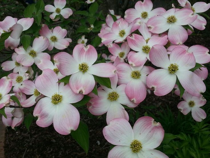 pink dogwood cornus florida 39 rubra 39 gardening pinterest. Black Bedroom Furniture Sets. Home Design Ideas