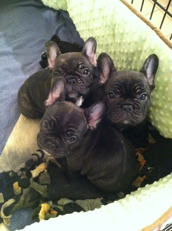Frenchie Puppies | Frenchie Love | Pinterest