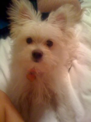 maltese chihuahua mix | Dogs | Pinterest