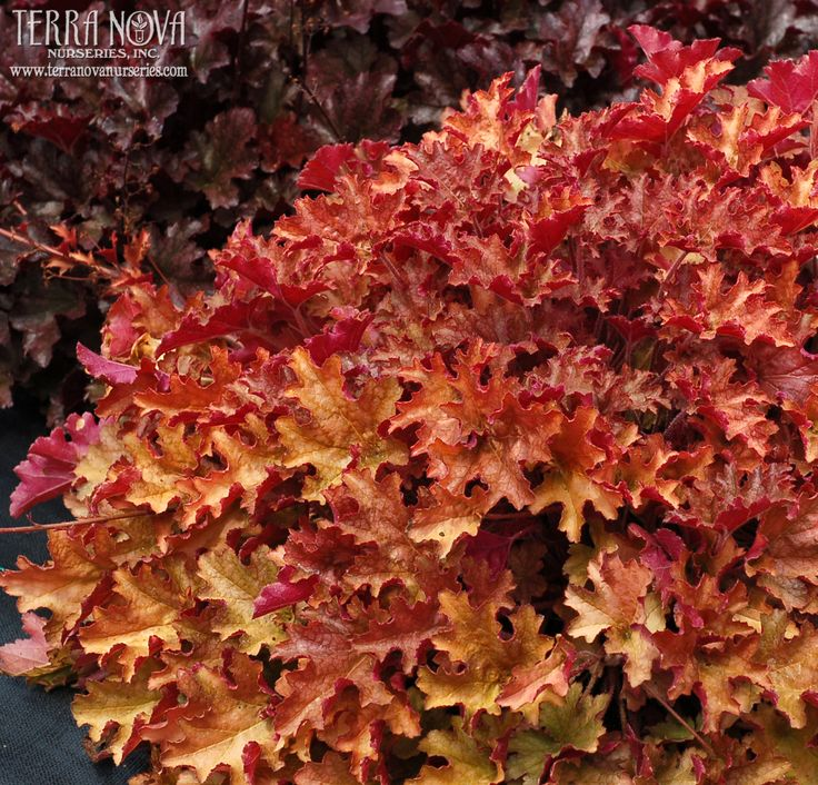Heuchera 'Ginger Peach' - Similar to 'Marmalade' with rose ra...