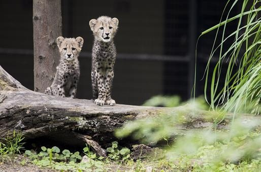 3 month old cheetah cubs