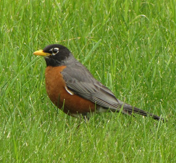 When the Robin returns (the State Bird) Spring cannot be far away