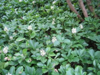 pachysandra ground cover  Found on maggiesfarm.anotherdotcom.com