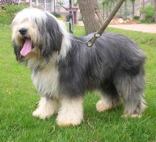 dog breeds polish lowland sheepdog