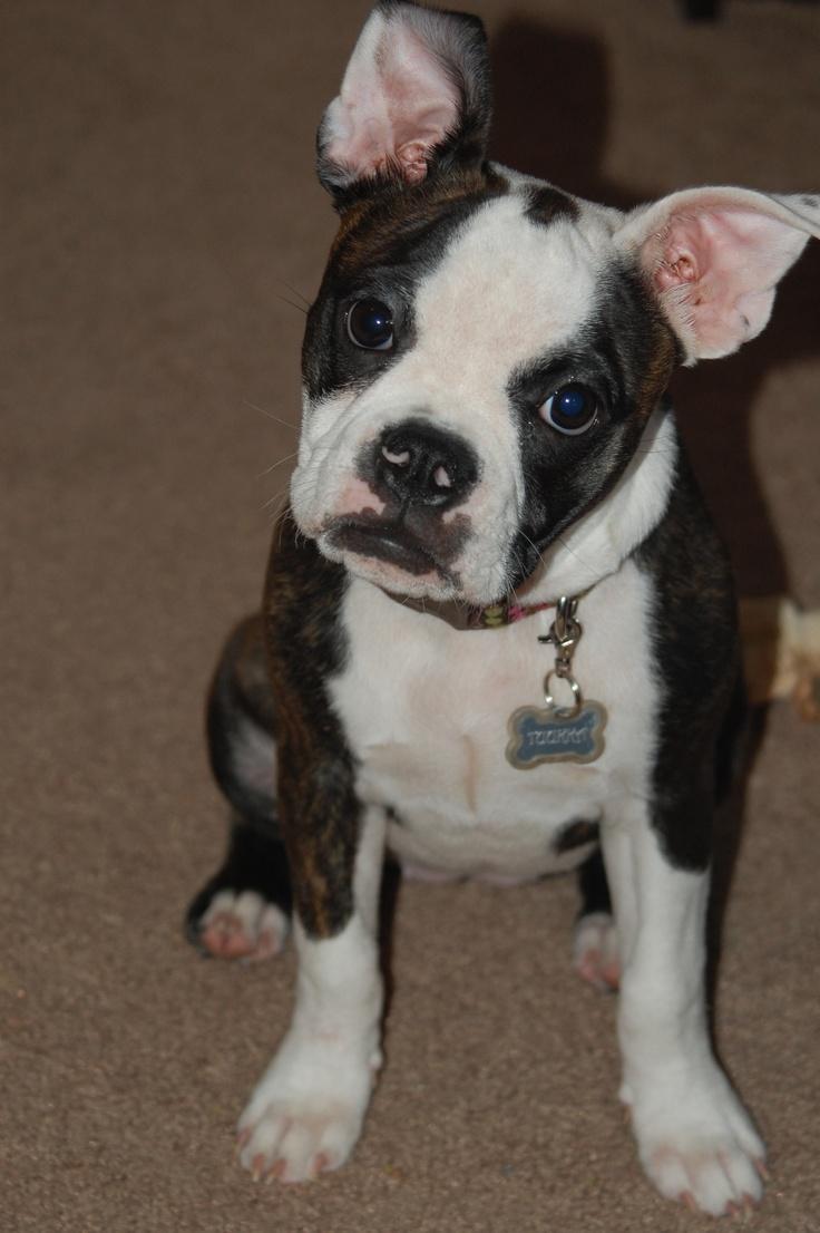 English Bulldog / Boston Terrier | Animals | Pinterest