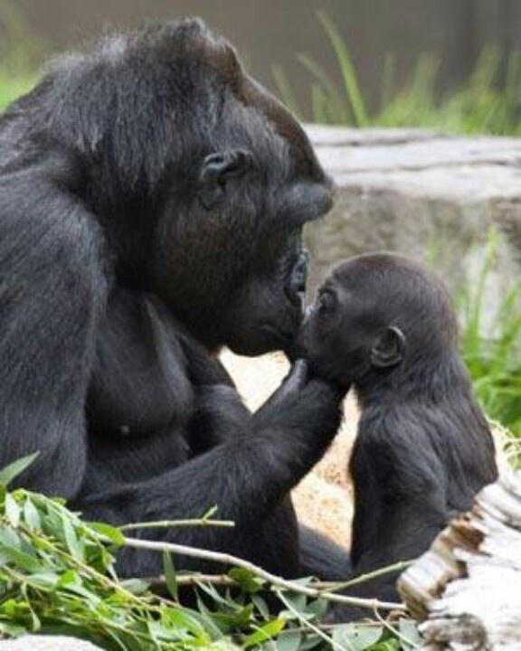 Mama & baby gorilla   Gorillas   Pinterest Newborn Silverback Gorilla
