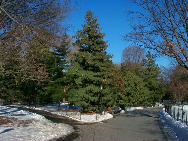 Pine seedlings 0 00 http www tnnursery net white pine seedlings 1