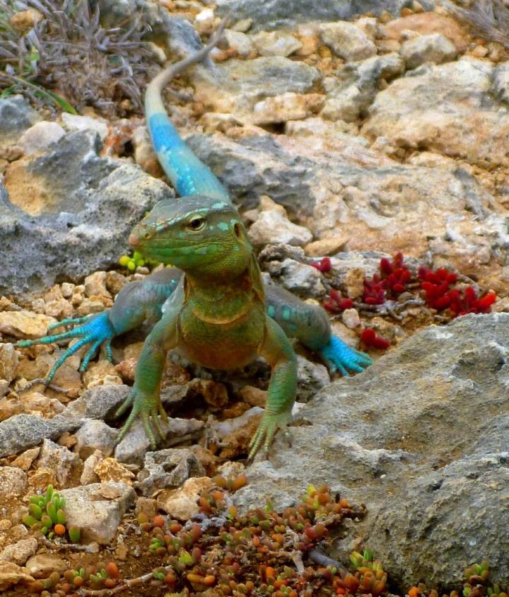 teal lizard in Curacao