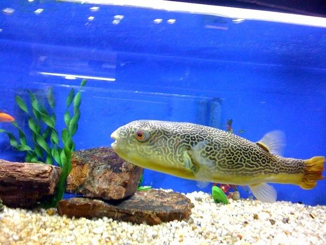 Mbu Pufferfish African Species Tropical Freshwater
