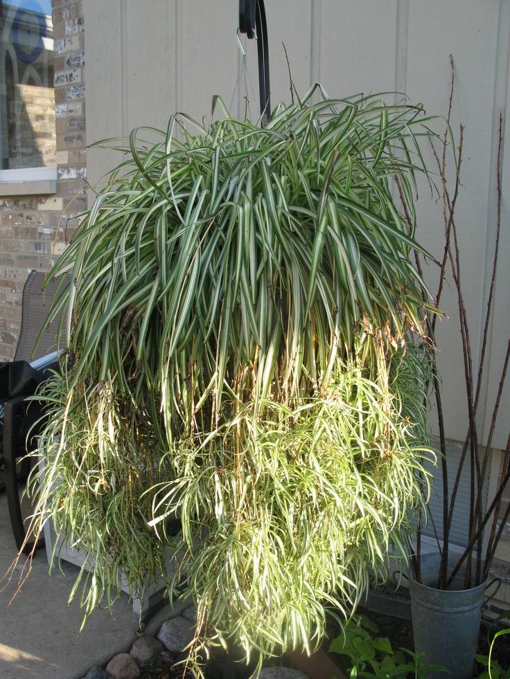 Spider Plant | All Natural~ | Pinterest