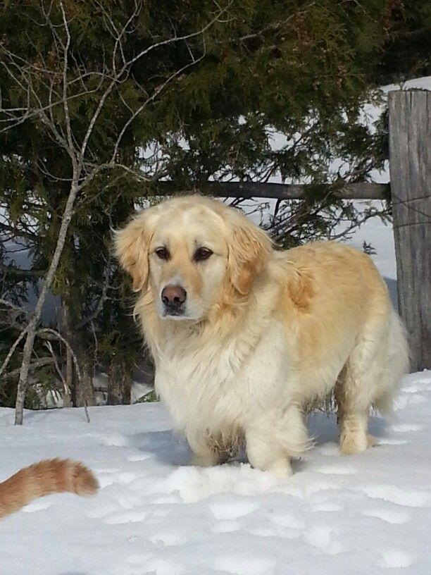 Miniature golden retriever | Dogs | Pinterest