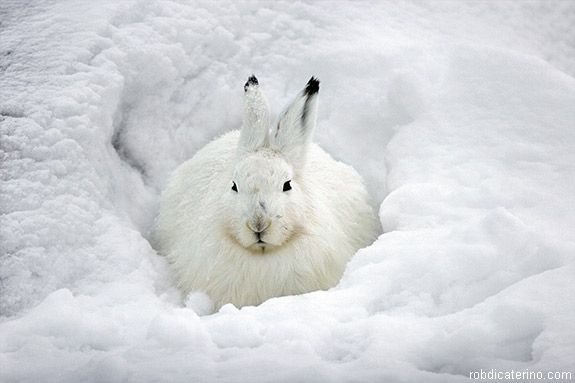 Google Image Result for http://unofficialnetworks.com/wp-content/uploads/2012/03/rabbit-snow-after-575x383.jpeg