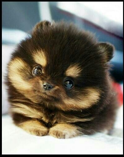 Adorable brown teacup pomeranian Teacup Pomeranian Brown