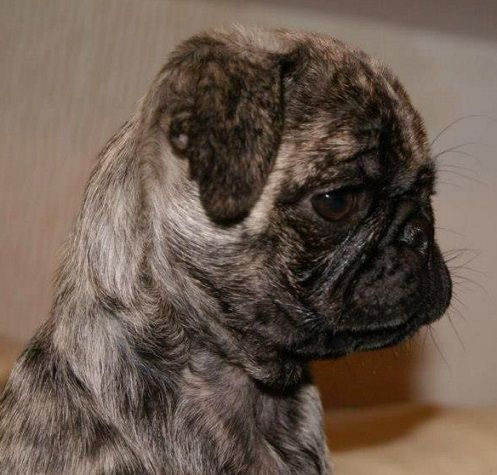 brindle pugs for sale oregon to download brindle pugs for sale oregon ...