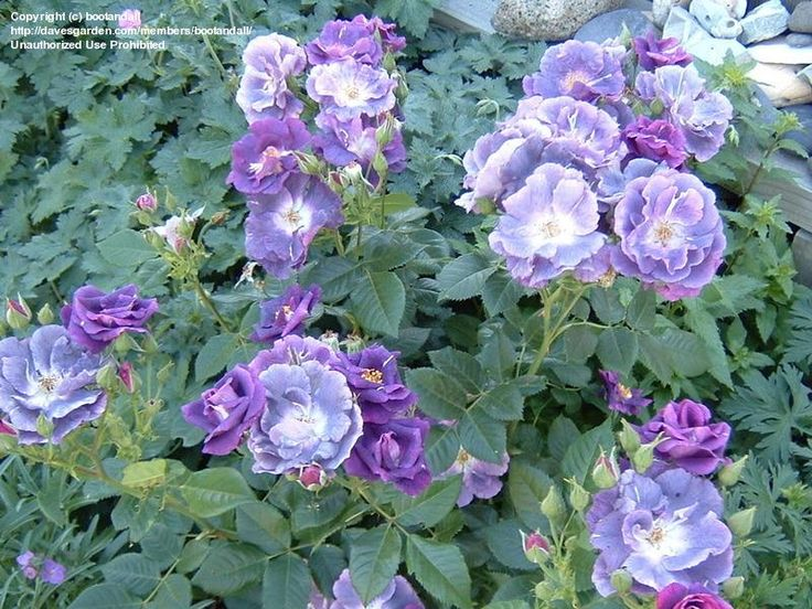 shrub rose 39 rhapsody in blue 39 buy garden pinterest. Black Bedroom Furniture Sets. Home Design Ideas