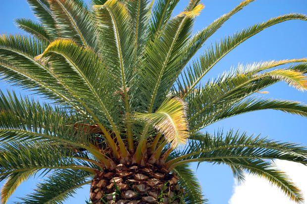 Types of palm trees grown in florida garden guides for Different kinds of plants