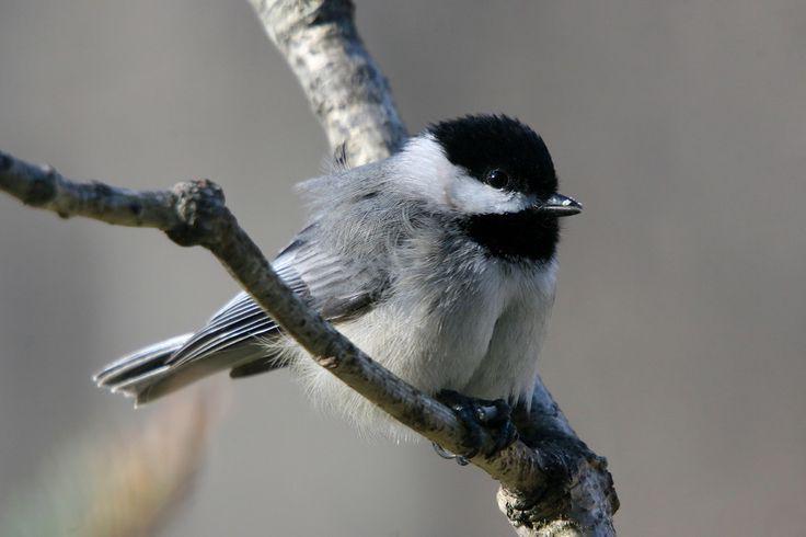 native birds of west virginia virginia birds of virginia and