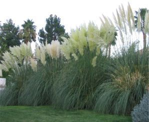 Erianthus ravennae herbaceous ornamentals pinterest for Tall ornamental grasses for screening