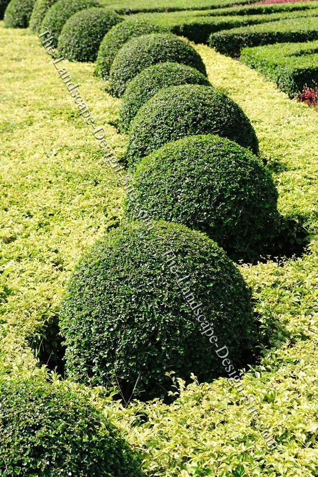 Pin by melba sanches on garden love pinterest for Green bushes for landscaping