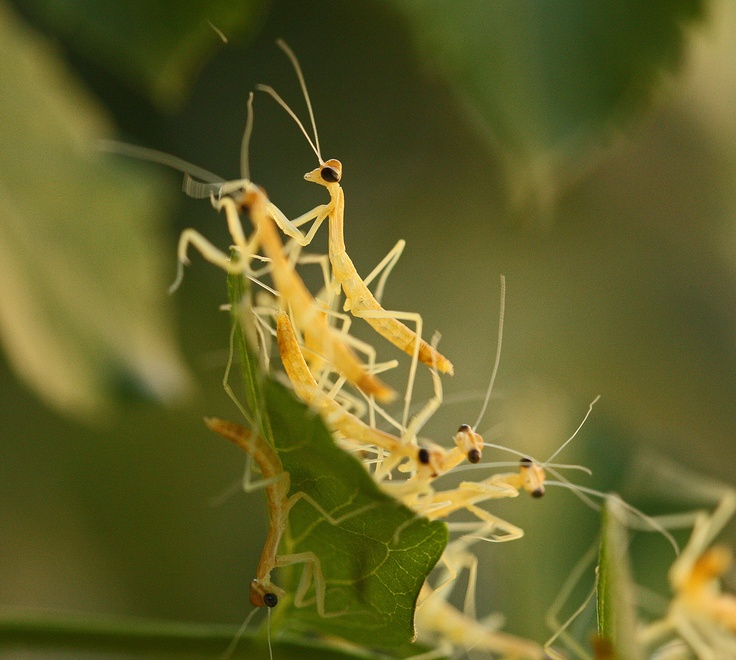 Praying Mantis hatchlings