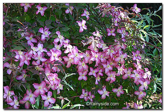 clematis montana var rubens 39 freda 39 i love flowers. Black Bedroom Furniture Sets. Home Design Ideas