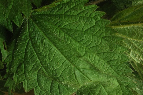 Nettles pesto. You have to be careful collecting them but they're ...