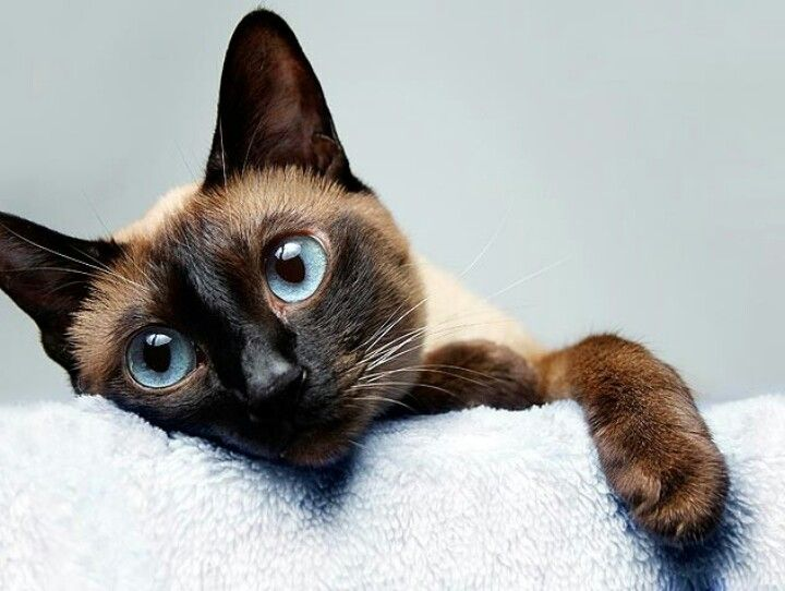 gorgeous siamese cat chocolate point���� siamese cats