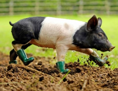 This is for real--this little piggy won't walk in the mud unless she's wearing her special Wellington boots. Can you blame her?