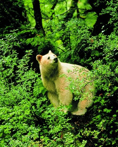Spirit Bear –Native to the Great Bear Rainforest of British Columbia