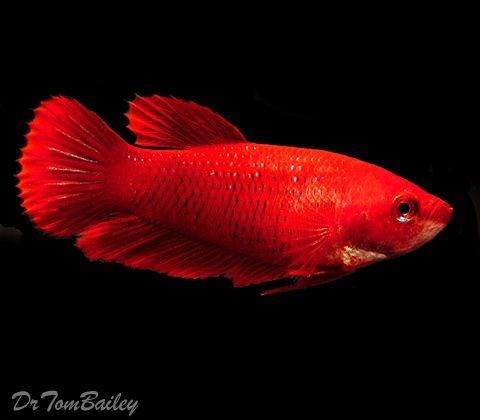 Female betta fish betta fish pinterest for Red betta fish