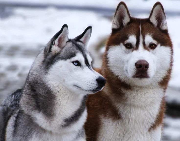 What does a siberian husky look like