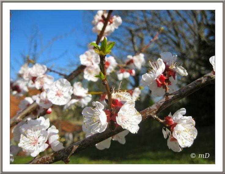 Le jardin de titi fleurs d 39 abricotier le printemps la for Le jardin des fleurs