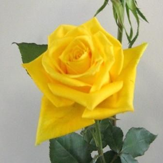 JY: Isabel - Large Bright Yellow Roses | Rosas | Pinterest