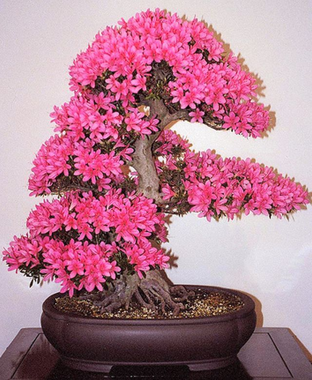 nice looking flowers bonsai pinterest